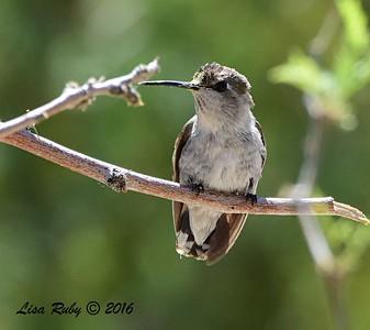 Female Costa's Hummingbird - 4/3/2016 - Agua Caliente County Park