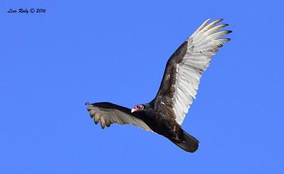 Turkey Vulture - 4/3/2016 - Agua Caliente County Park