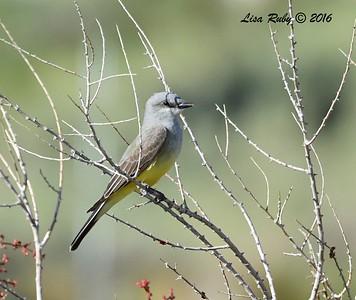 Western Kingbird - 4/4/2016 - Agua Caliente County Park