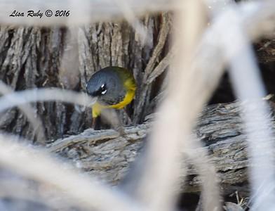 Macgillivray's Warbler - 4/3/2016 - Agua Caliente County Park