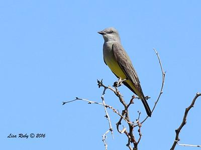 WEstern Kingbird - 4/3/2016 - Agua Caliente County Park