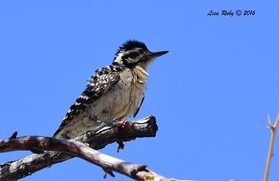 Female Ladder-backed Woodpecker - 4/3/2016 - Agua Caliente County Park
