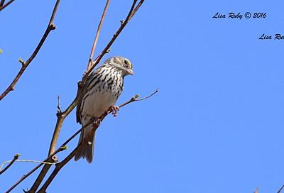 Savannah Sparrow - 2/29/2016 - Water Treatment Settle Ponds, Borrego Springs