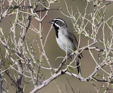 Black-throated Sparrow - 2/29/2016 - Anza Borrego Desert State Park Visitor's Center
