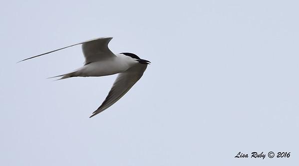Gull-biled Tern - 7/3/2016 Bayshore BIkeway near 12th street