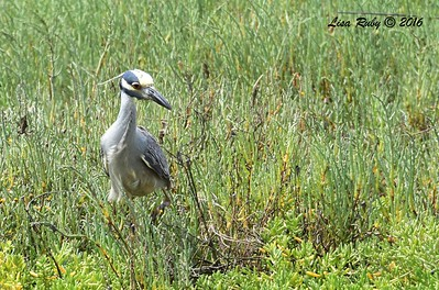 Yellow-crowned Night Heron - 7/3/2016 - Tijuana Estuary Preserve