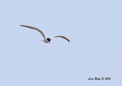 Forster's Tern - 7/3/2016 - Tijuana Estuary Preserver