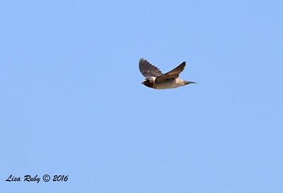 Cliff Swallow - 7/3/2016  - Tijuana Estuary Preserve