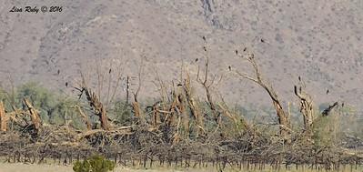Distant Swainson's Hawks - 3/15/2016 - Borrego Springs