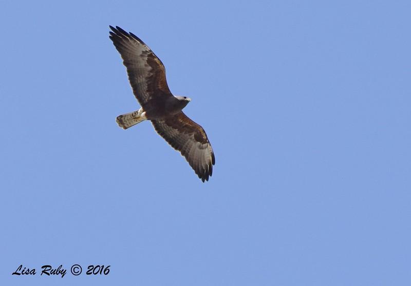 Swainson's Hawk - dark morph - 3/15/2016 - Borrego Springs