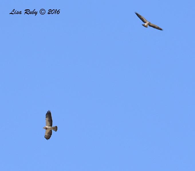 Swainson's Hawks - 3/15/2016 - Borrego Springs