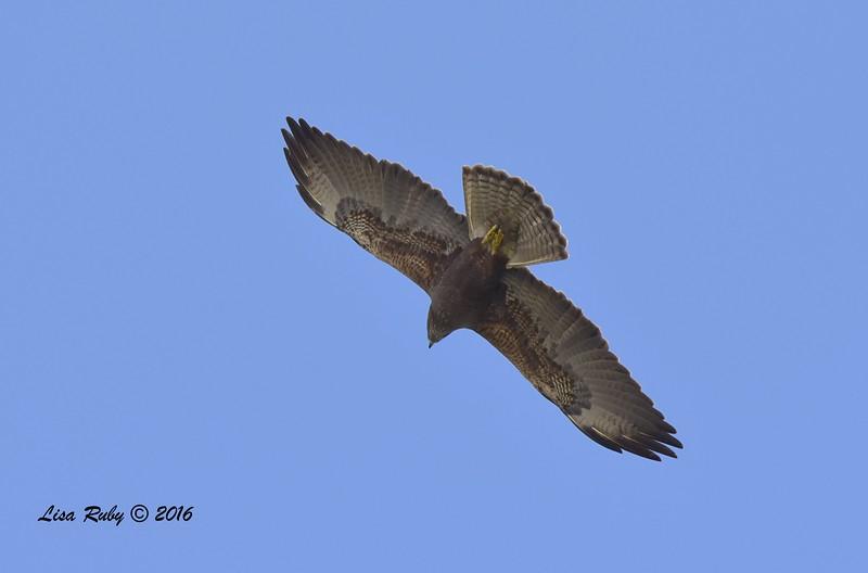 Swainson's Hawk - 3/15/2016 - Borrego Springs