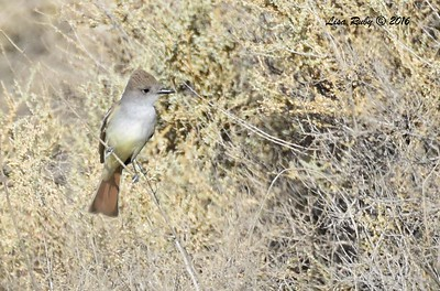 Ash-throated Flycatcher  - 5/26/2016 - Borrego Springs Mesquite Bosque