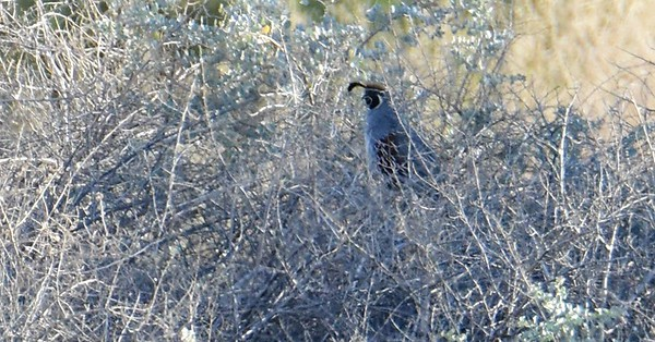 Gamble's Quail - 5/26/2016 - Borrego Springs Mesquite Bosque