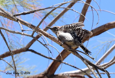 Ladder-backed Woodpecker  - 5/26/2016 - Tamarisk Grove Campground