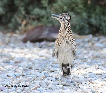 Greater Roadrunner  - 5/26/2016 - Borrego Springs Roadrunner Club
