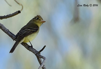 Pacific-slope Flycatcher  - 5/26/2016 - Borrego Springs Roadrunner Club