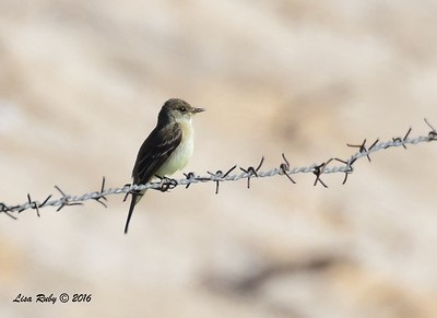 FLycatcher, possible Willow? - 5/26/2016 - Borrego Springs Water Treatment Settling Ponds