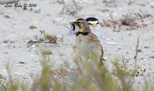 Horned Lark - 5/14/2016 - Least Tern Nesting area, south Carlsbad