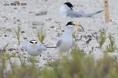 Least Terns - 5/14/2016 - Nesting area coast hwy south Carlsbad