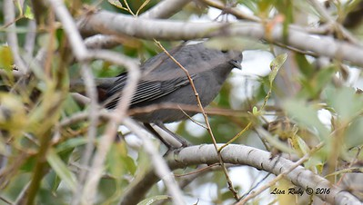 Gray Catbird - 10/23/2016 - Famosa Slough