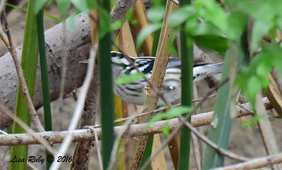 Peek-a-boo   Black and White Warbler  - 10/23/2016 - Famosa Slough