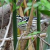 Peek-a-boo   Black and White Warbler  - 10/23/2016 - Famosa Slough