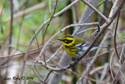 Townsend's Warbler  - 10/23/2016 - Famosa Slough