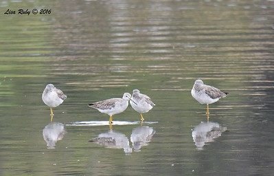 Greater Yellowlegs (all four birds)  - 10/23/2016 - Famosa Slough