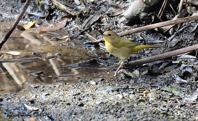 Female Common Yellowthroat  - 10/23/2016 - Famosa Slough