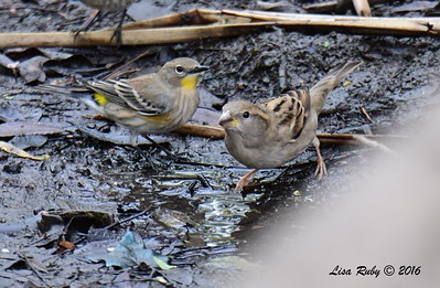 Yellow-rumped Warbler & Female House Sparrow  - 10/23/2016 - Famosa Slough