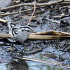 Black and White Warbler  - 10/23/2016 - Famosa Slough