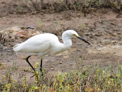 Snowy Egret  - 10/23/2016 - Famosa Slough