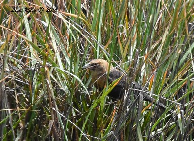 Yellow-headed Blackbird - 7/17/2018 - Famosa Slough