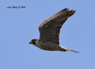 Peregrine Falcon - 7/17/2016 - Robb Field
