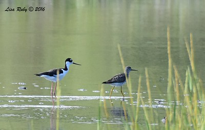 Black-necked Stilt and Lesser Yellowlegs - 7/17/2016 - Famosa Slough