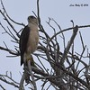 Cooper's Hawk - 6/6/2016 - Flintkote Ave