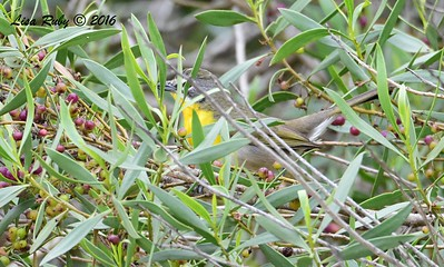 Yellow-breasted Chat  - 6/6/2016 - Flintkote Ave