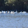American White Pelican group 1 - 11/2/2016 - Lake Hodges Bernardo Bay