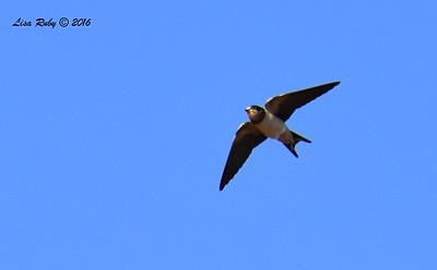 Barn Swallow  - 11/2/2016 - Lake Hodges Bernardo Bay