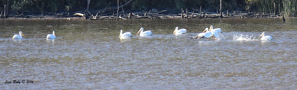American White Pelican group 2 - 11/2/2016 - Lake Hodges Bernardo Bay