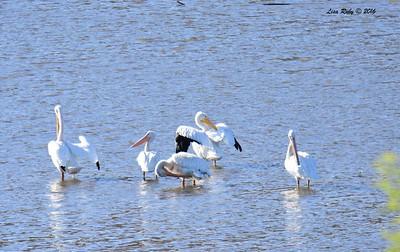 American White Pelican group 3 - 11/2/2016 - Lake Hodges Bernardo Bay