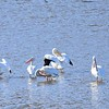 American White Pelican group 3 - 11/2/2016 - Lake Hodges Bernardo Bay