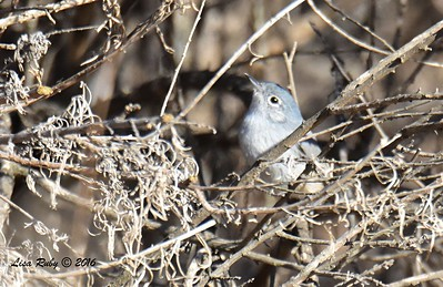 California Gnatcatcher  - 11/2/2016 - Lake Hodges Bernardo Bay