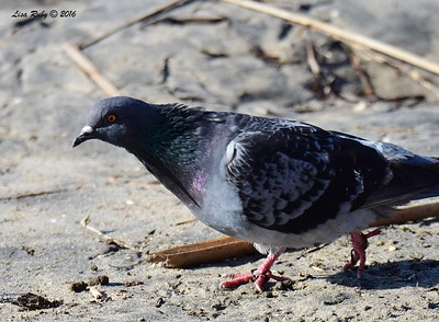 Rock Pigeon - 12/11/2016 - Mission Bay east
