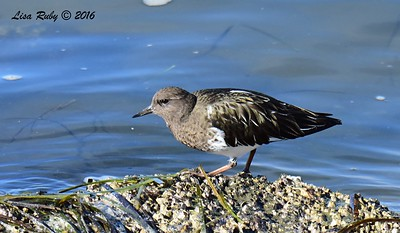 Black Turnstone - 12/11/2016 - Mission Bay east