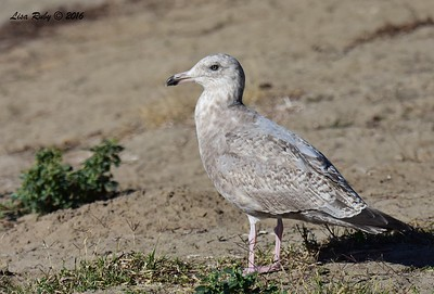 ? Gull 2nd winter Herring maybe? - 12/11/2016 - Mission Bay east
