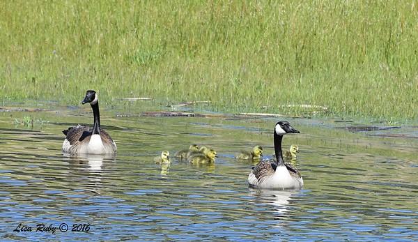Canada Goose Family - 4/29/2016 - Lake Cuyamaca