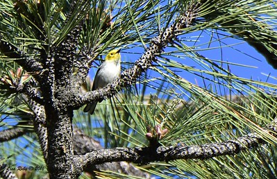 Hermit Warbler - 4/29/2016 - Stonewall Mine trails
