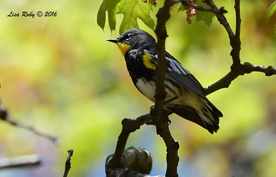 Yellow-rumped Warbler - 4/29/2016 - Lake Cuyamaca